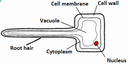 Root hair cell transport in flowering plants this is a labelled diagram of a root hair cell ccuart Gallery